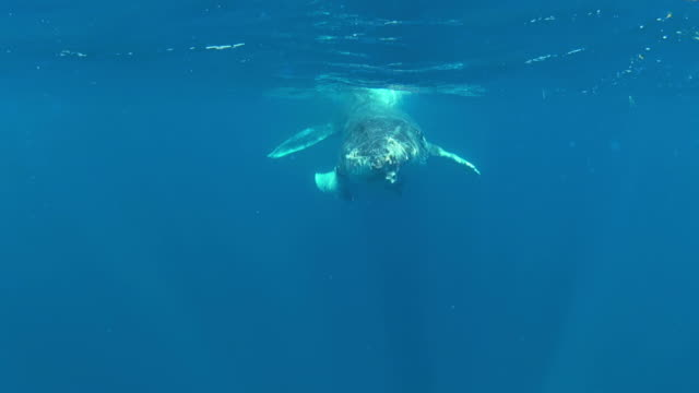 Baby Humpback Whale swimming up close