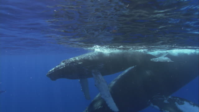 stockvideo's en b-roll-footage met a baby humpback whale swims with its mother in the pacific ocean near alaska. available in hd. - alaska verenigde staten
