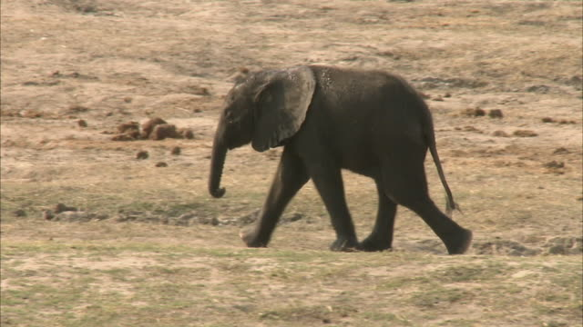 MS PAN R/F Baby Kalahari Elephant walking on field, Chobe National Park, Botswana