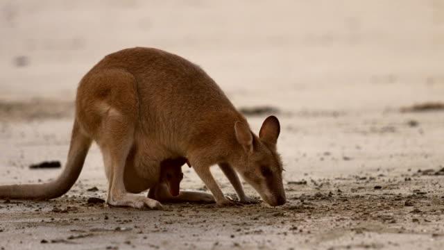 mutter und baby-känguru - beuteltier stock-videos und b-roll-filmmaterial
