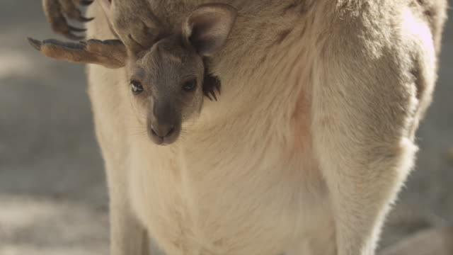 baby kangaroo in mother's pouch - animal family stock videos and b-roll footage