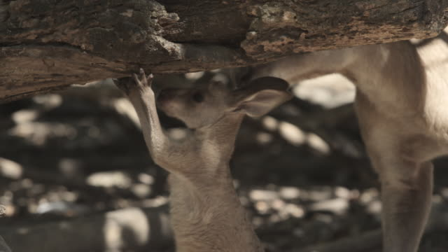 baby kangaroo scratches at tree while mother watches - beuteltier stock-videos und b-roll-filmmaterial