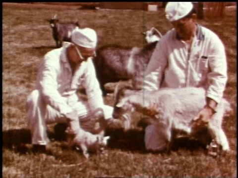 1966 zi baby kid with handlers and large goats / hanford, washington, united states - hanford nuclear reservation video stock e b–roll
