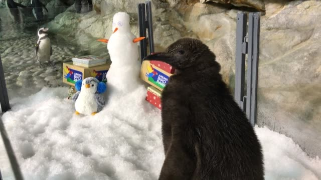 A baby king penguin waddled into view in Singapore's bird park on Wednesday the first of its kind to be born there in nearly a decade