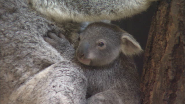 vidéos et rushes de a baby koala clings onto its mother. - famille d'animaux