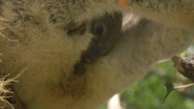 baby koala eating the feces of its mother on top of eucalyptus tree in eastern australia - beuteltier stock-videos und b-roll-filmmaterial