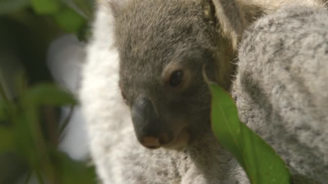 baby koala in the arms of its mother on top of eucalyptus tree in eastern australia - beuteltier stock-videos und b-roll-filmmaterial