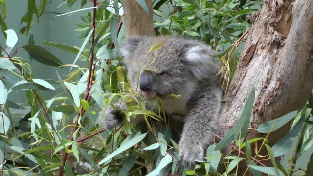 baby koala - beuteltier stock-videos und b-roll-filmmaterial