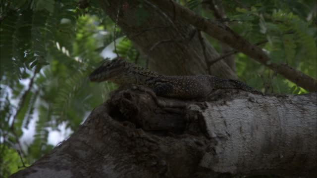 baby komodo dragon slithers over tree branch. - insel komodo stock-videos und b-roll-filmmaterial