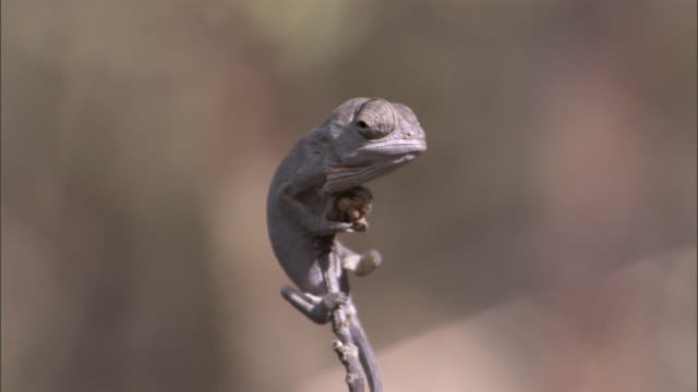 Baby Labord's chameleon (Furcifer labordi) clings to twig, Madagascar