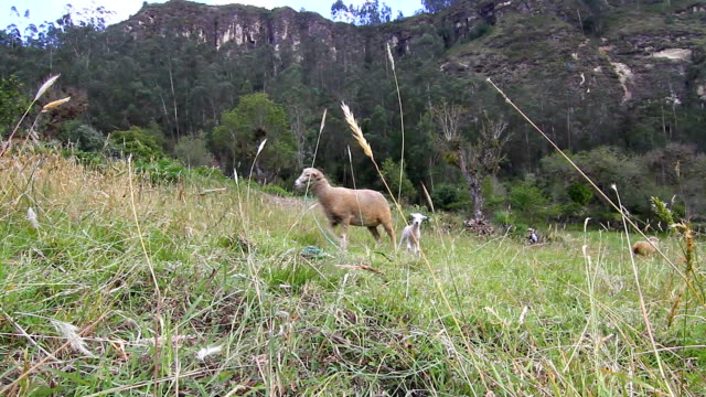 baby lamb and mother tied in pastureland. - loja stock videos and b-roll footage