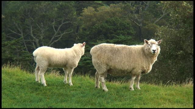 vídeos de stock e filmes b-roll de (hd1080i) de cordeiro enfermeiras, bebidas de leite de mãe ovelha (mamar - two animals
