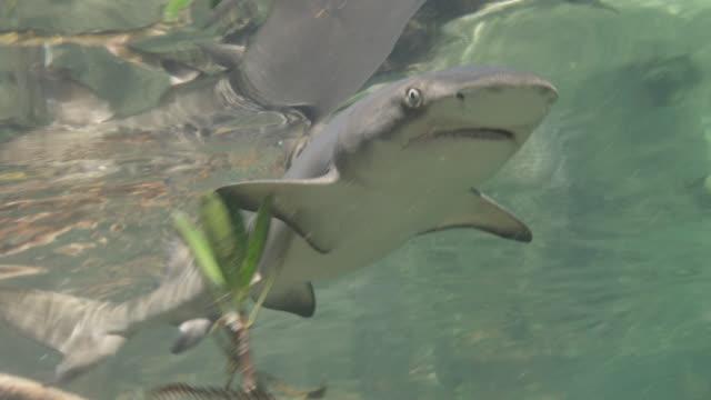 baby lemon shark swims in mangrove nursery, bimini, bahamas - bimini stock videos & royalty-free footage