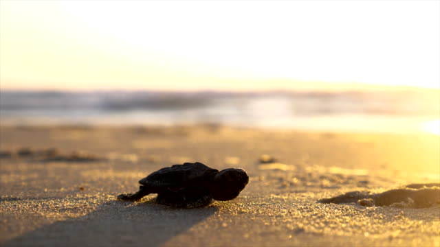 a baby loggerhead sea turtle crawling on the beach - aquatic organism stock videos & royalty-free footage