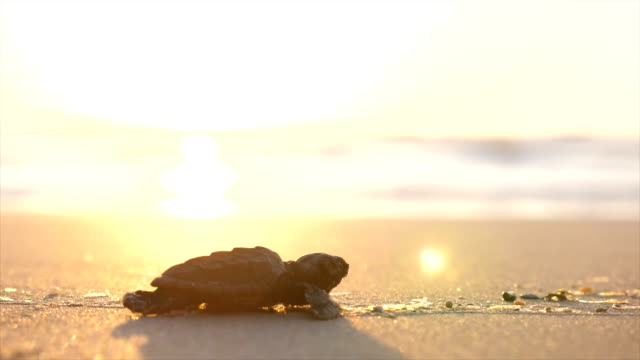 a baby loggerhead sea turtle crawling on the beach - turtle stock videos & royalty-free footage