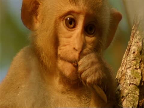 vídeos de stock e filmes b-roll de cu baby macaque monkey with leaf in mouth, india - preocupado