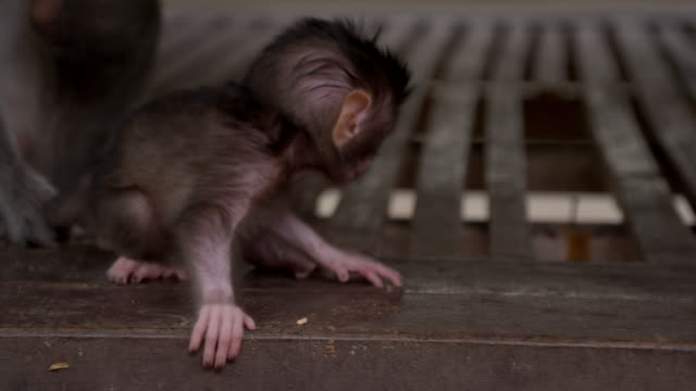 slo mo baby macaque - threatened species stock videos & royalty-free footage