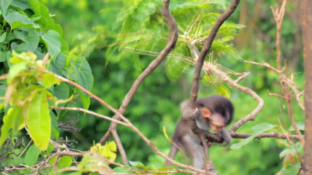baby macaques monkeys playing on tree - monkey stock videos & royalty-free footage