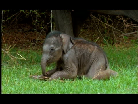 Baby male Elephant (Elephas maximus) stands up, very wobbly, Nagarahole, Southern India