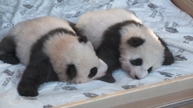 stockvideo's en b-roll-footage met baby male pandas meng yuan and meng xiang cuddle on a heated mattress during their first presentation to the media at zoo berlin on december 09 2019... - panda