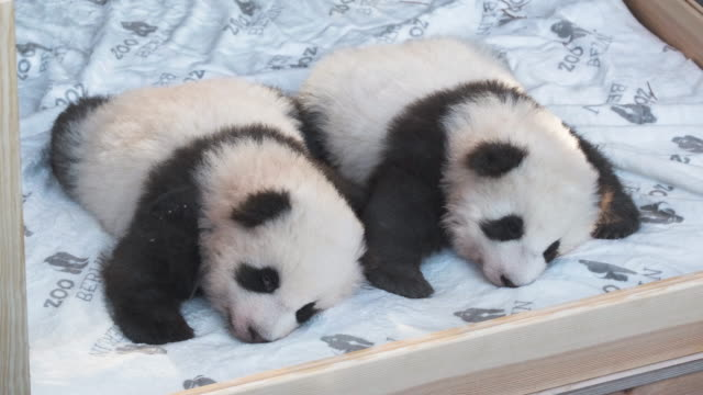 baby male pandas meng yuan and meng xiang cuddle on a heated mattress during their first presentation to the media at zoo berlin on december 09 2019... - ベルリン点の映像素材/bロール