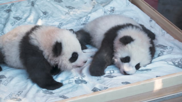 baby male pandas meng yuan and meng xiang cuddle on a heated mattress during their first presentation to the media at zoo berlin on december 09, 2019... - panda stock-videos und b-roll-filmmaterial