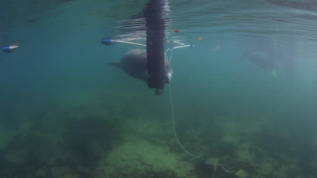A Baby Manatee Gently Hangs Along a Surface Buoy