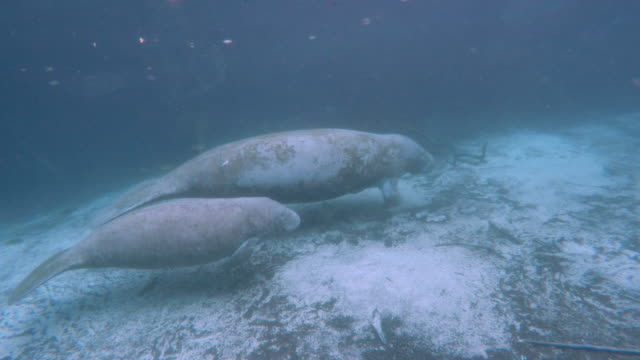 baby manatee swimming with her mother - rundschwanzseekuh stock-videos und b-roll-filmmaterial
