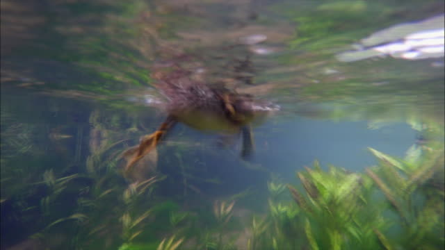 vidéos et rushes de baby mandarin ducks swimming in river in the dmz (demilitarized zone between south and north korea), goseong-gun - film documentaire image animée