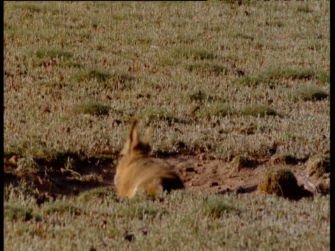 baby mara rolls and dust bathes, patagonia - babyhood stock videos & royalty-free footage