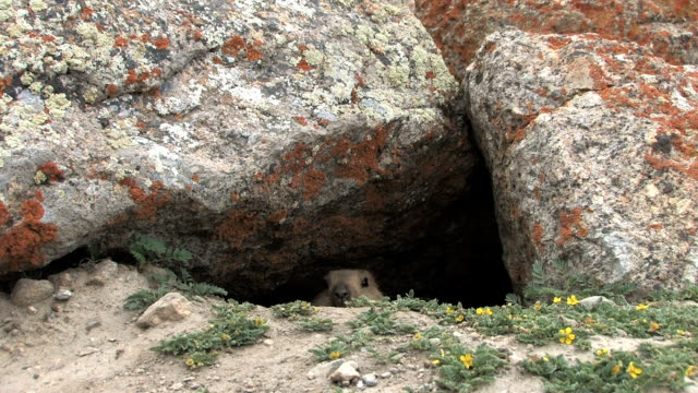 Baby marmot looks out from its burrow.