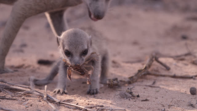 baby meerkat (suricata suricatta) eats scorpion prey, south africa - scorpion stock videos & royalty-free footage