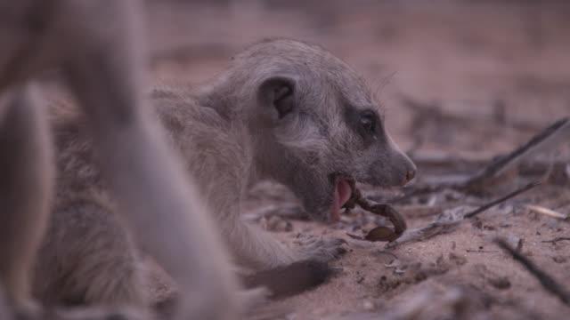 baby meerkat (suricata suricatta) eats scorpion prey, south africa - meerkat stock videos & royalty-free footage