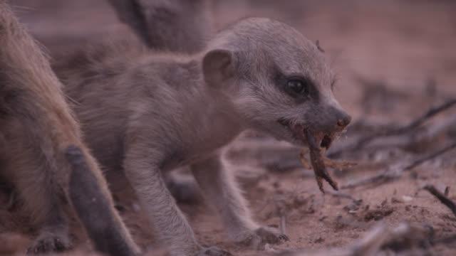 Baby meerkat (Suricata suricatta) eats scorpion prey, South Africa