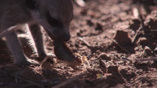 baby meerkat (suricata suricatta) tackles scorpion prey, south africa - meerkat stock videos & royalty-free footage