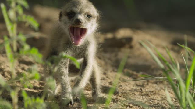 baby meerkat (suricata suricatta) yawns in desert, south africa - cute stock videos & royalty-free footage