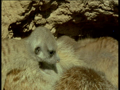 baby meerkats outside of their den with parents - babyhood stock videos & royalty-free footage
