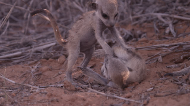 Baby meerkats (Suricata suricatta) play fight on sand, South Africa