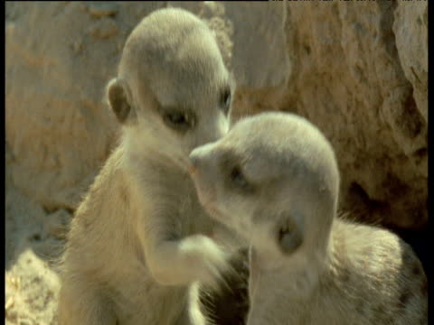 baby meerkats play outside of their burrow (very cute) - babyhood stock videos & royalty-free footage