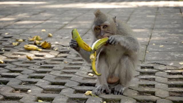 Baby monkey eating bananas