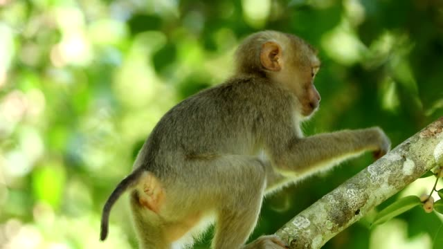 Baby monkey lives in a natural forest of Khao yai national park Thailand, slow motion