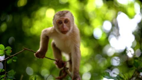stockvideo's en b-roll-footage met baby aap woont in een natuurlijke bos van phuket thailand. - bali