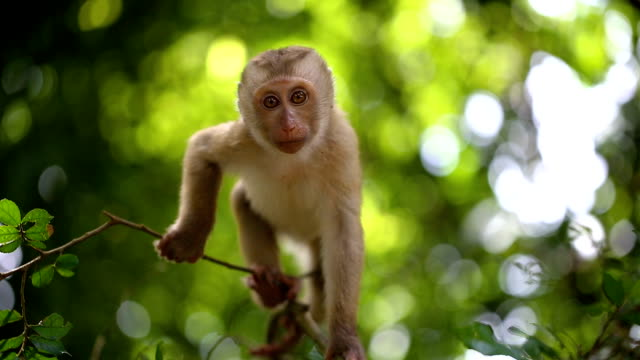 vídeos de stock e filmes b-roll de baby monkey lives in a natural forest of phuket thailand. - árvore tropical