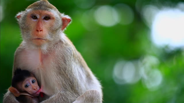 baby monkey sucking mother's breast in the forest - primate stock videos & royalty-free footage