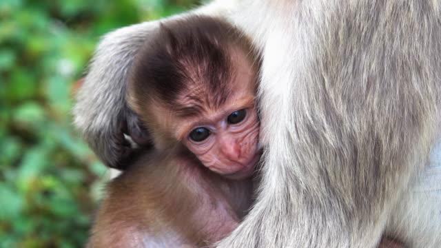 Baby Monkey Suckling