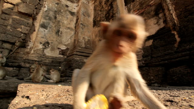 vidéos et rushes de bébés singes eaitng fruits dans un temple thaï, à lopburi, thaïlande. - thaïlande