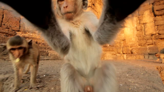 stockvideo's en b-roll-footage met baby monkeys in thai temple - dierentuin