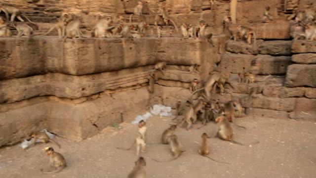 affenbabys in thailändischem tempel - neuweltaffen und hundsaffen stock-videos und b-roll-filmmaterial