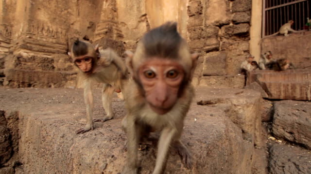 Baby monkeys in Thai Temple,Lopburi, Thailand