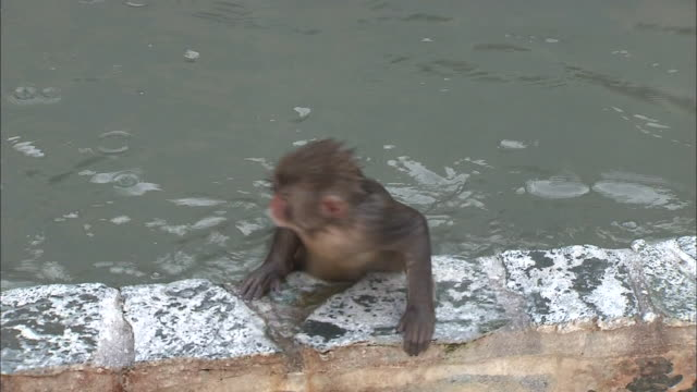 baby monkeys swim in a hot spring in hokkaido, japan. - small group of animals stock videos & royalty-free footage